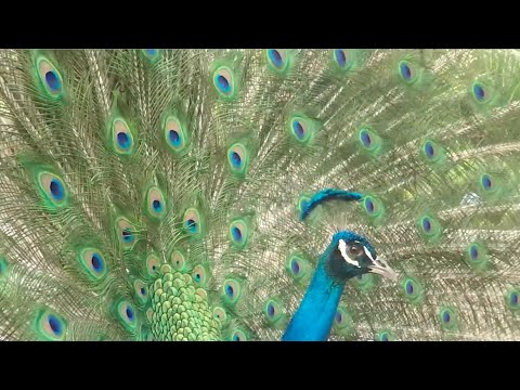 Science Today: Peacocks' Calculated Moves | California Academy of Sciences thumbnail