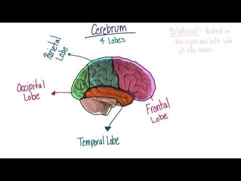 Lobes of the brainSUSANVERSION thumbnail