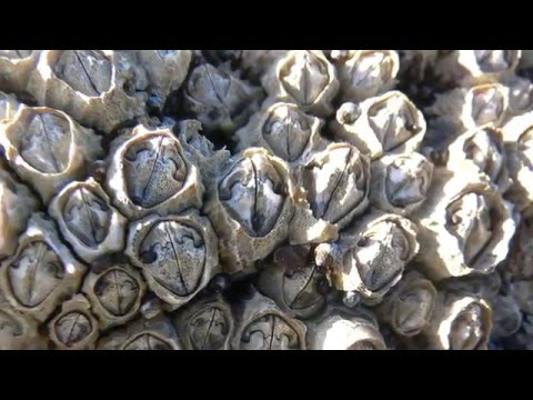 Science Today: Barnacle Romance | California Academy of Sciences thumbnail