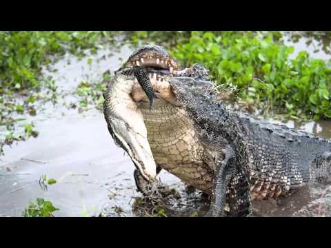 Science Today: American Alligators | California Academy of Sciences thumbnail