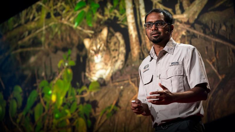 The link between fishing cats and mangrove forest conservation thumbnail