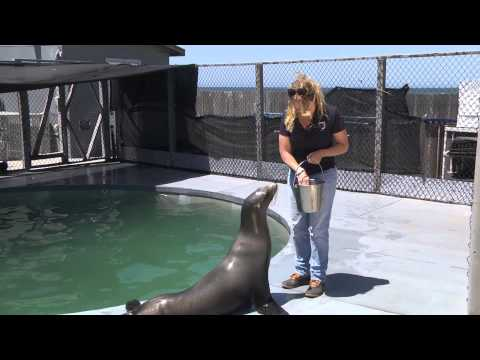 Conditioning in action with sea lions - Intro to Psychology thumbnail