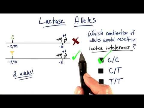 Lactase Alleles thumbnail
