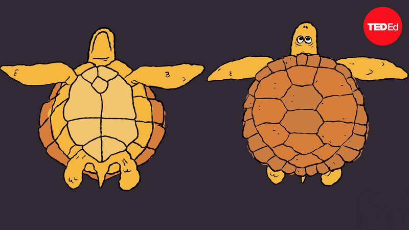 How turtle shells evolved... twice thumbnail