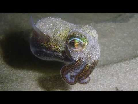 Science Today: Daring Dumpling Squid | California Academy of Sciences thumbnail