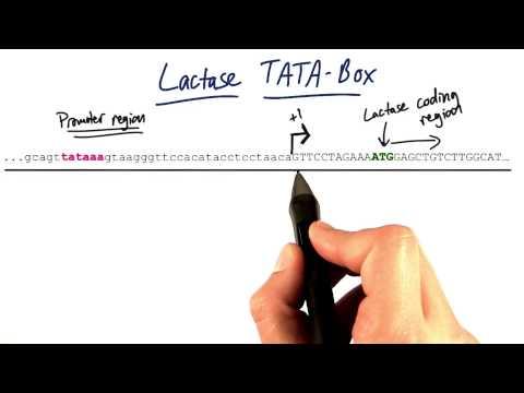 Lactase TATA Box thumbnail
