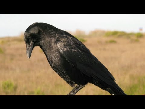 Science Today: Crow Intelligence | California Academy of Sciences thumbnail