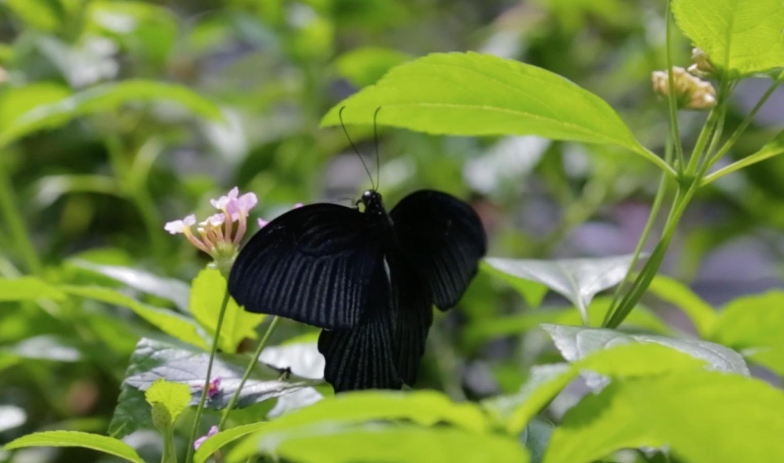 El viaje de las mariposas: Desde Costa Rica hasta la Academia thumbnail