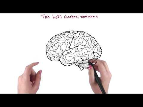 Cerebral hemispheres thumbnail