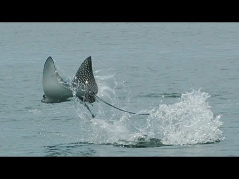 Science in Action: Spotted Eagle Rays | California Academy of Sciences thumbnail